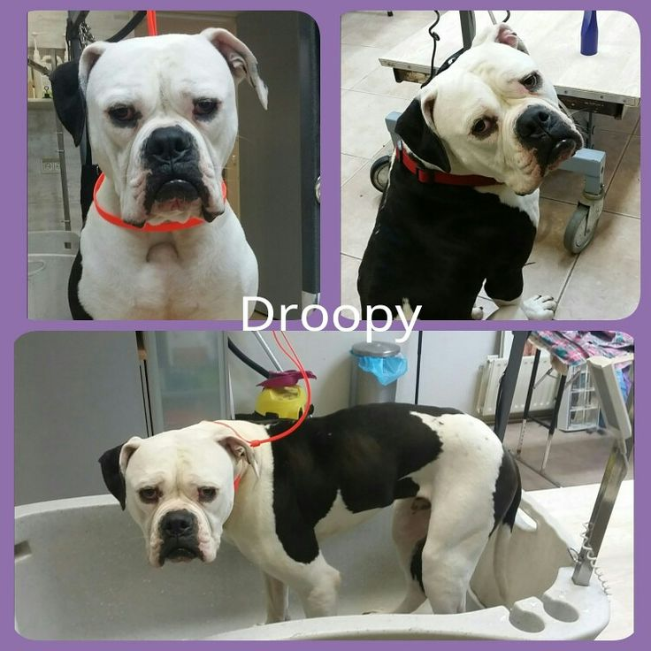 American Bulldog Droopy came for a bath!