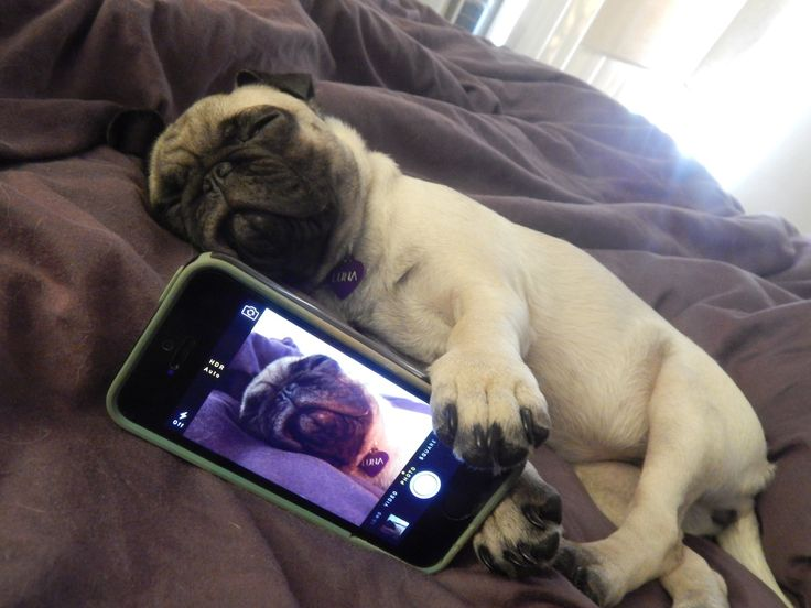 This pug snapped a selfie.