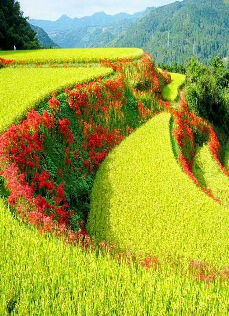 Red spider lilies in between lime colored rice terraces in Japan.