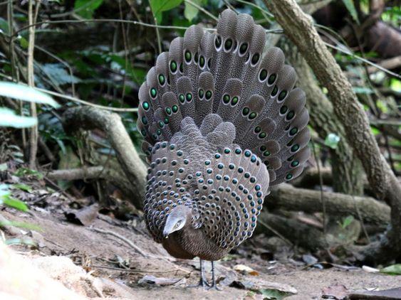 grey peacock pheasant for sale