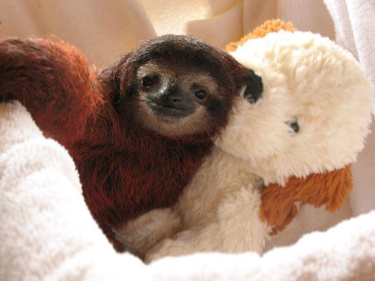 Sloths love stuffed animals!!