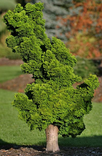 Oh My! Check out this Ellie B Hinoki Cypress!! GORGEOUS!! Find her in our Anniversary Sale here: http://www.shop.twogreenthumbs.com/Ellie-B-Hinoki-Cypress-COEL1.htm   Original & Pinned Photo Credit/Link: Klehm's Song Sparrow Farm and Nursery--Woody Plants--Chamaecyparis obtusa 'Ellie B.'