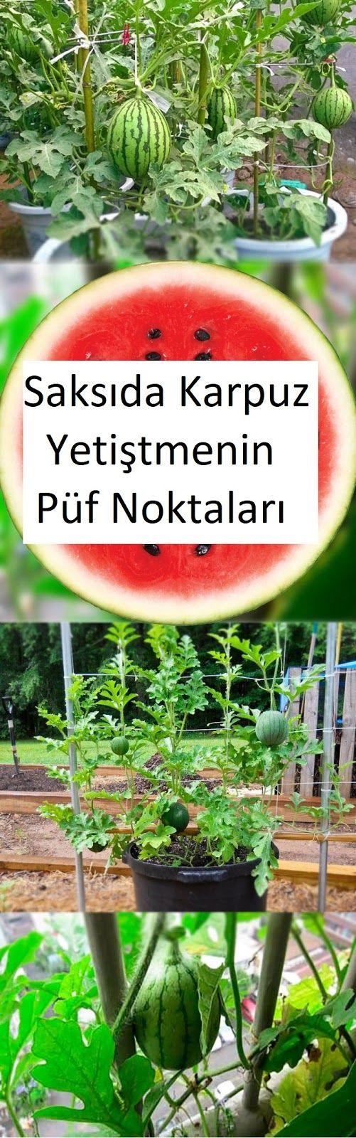 Saksılarda Karpuz Yetiştirmenin Püf Noktaları ~ Yeşil Parmak