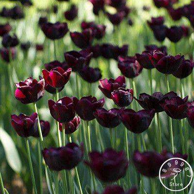 Big Sale, Wholesale 10pcs/lot Tulip seeds Flowers Wedding Home Decorative Flowers Home Decoration Tulip Flower,#5C1LRJ