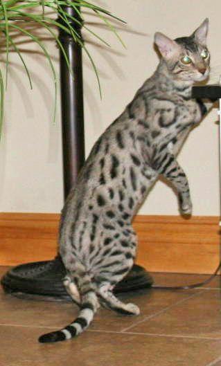 Savannah Studs - Our Cats - Select Exotics   #savannahcats  #SEpintowin