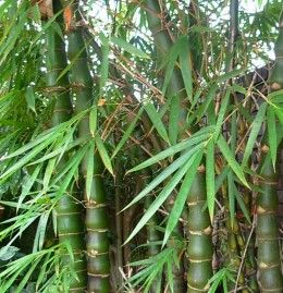 how to grow bamboo in your backyard - Growing Bamboo