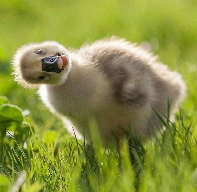 'What did you say Farmer?' - Curious Duckling