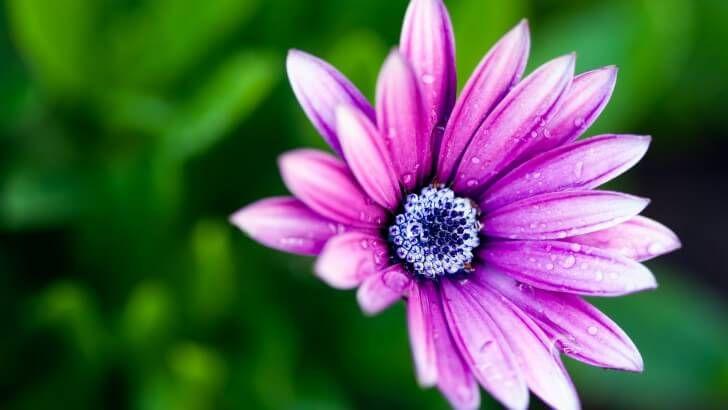 Purple Daisy Wallpaper Save this wallpaper to your desktop https://www.hdwallpapers.net/flowers/purple-daisy-wallpaper-835.htm #flowers #wallpapers #backgrounds