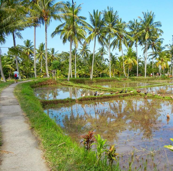 bali_fixRice paddy fields, ready for planting. Love the reflection of the coconut trees in the water but it's the line of bebek (ducks) that makes this photo. We watched the ducks follow the farmer walking around the edges of the ponds single file. Charming & entertaining. . .