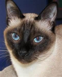 siamese cats - Bing Images
