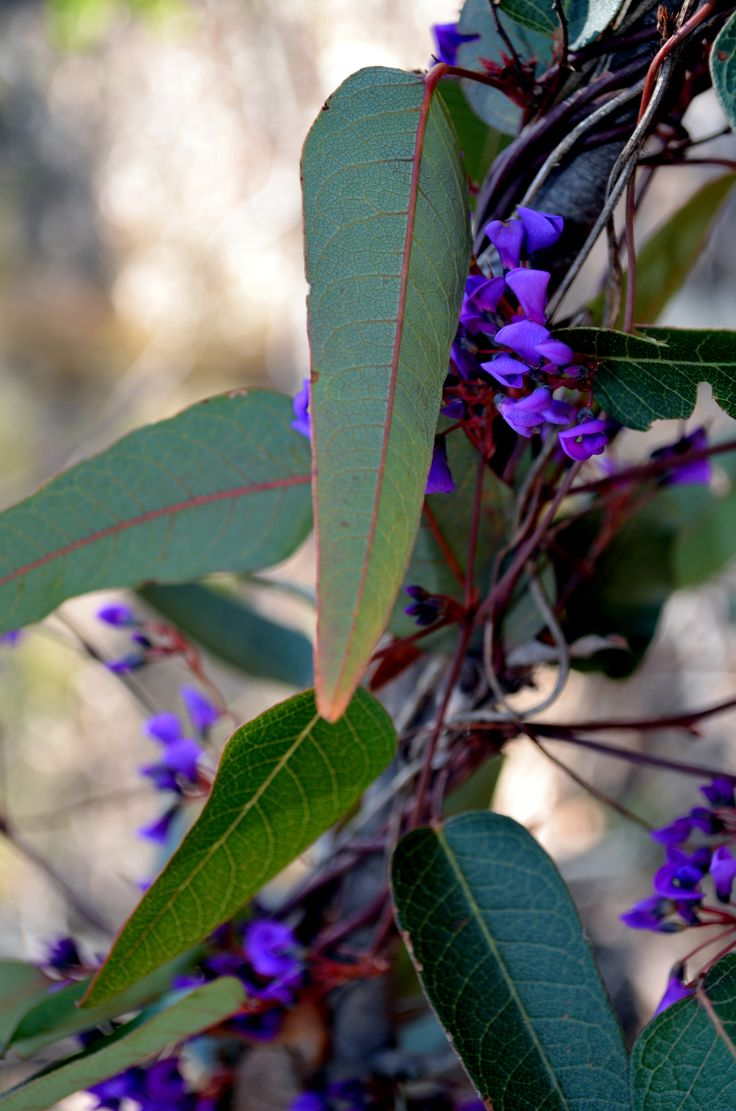 Hardenbergia violacea syn. H. monophylla is a species of flowering plant in the pea family Fabaceae, native to Australia from Queensland to Tasmania. It is known in Australia by the common names false sarsaparilla, purple coral pea, happy wanderer, native lilac and waraburra (which comes from the Kattang language). Elsewhere it is also called vine lilac or lilac vine.