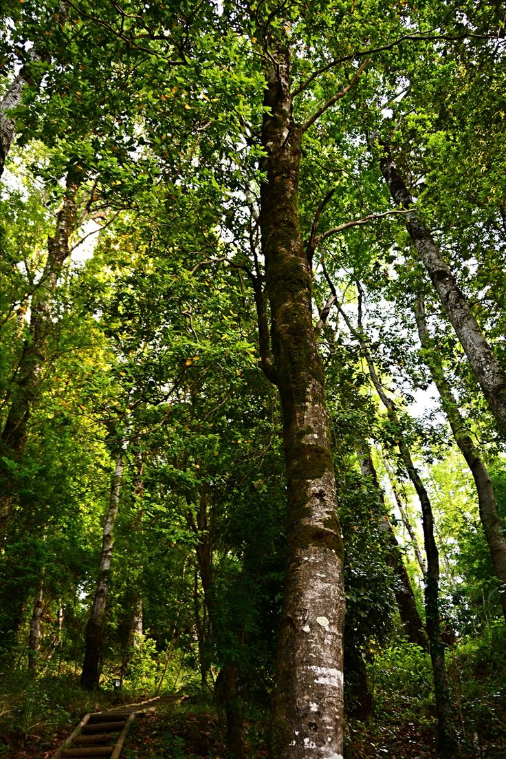 Pucon  #south #trees