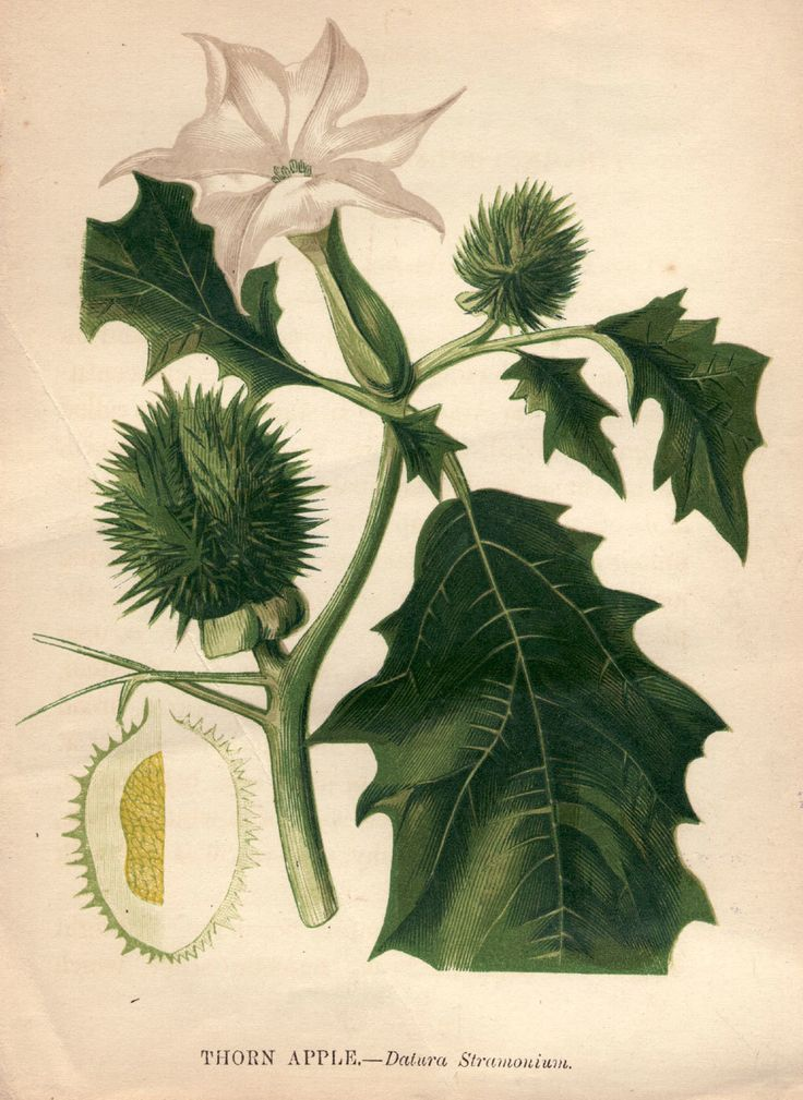 Datura stramonium — also known as thorn apple or loco weed — is a hallucinogen that produces similar experiences to LSD.