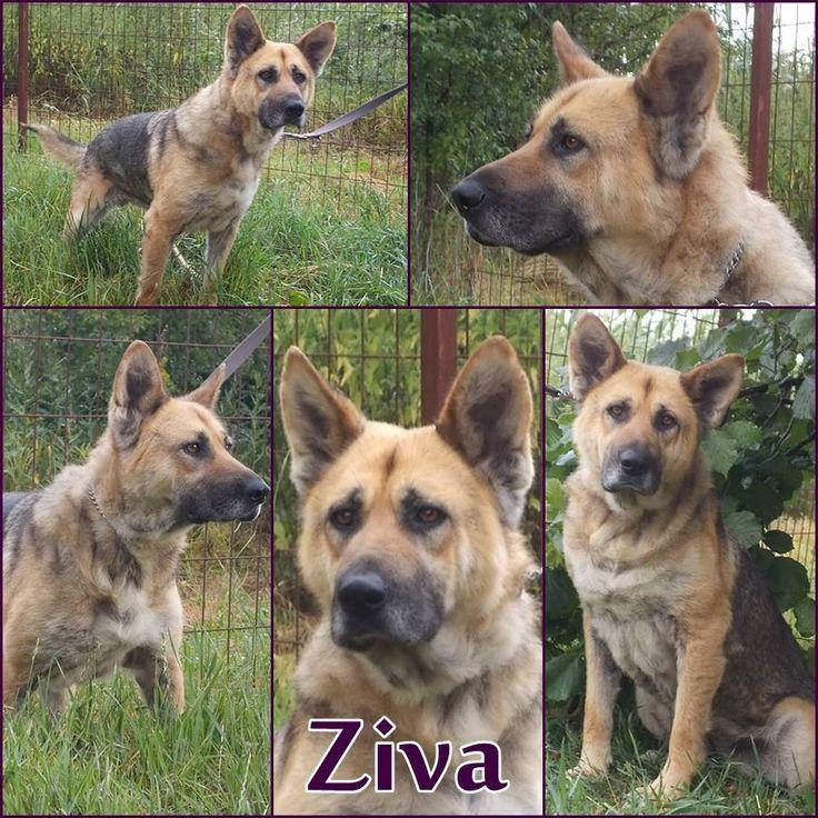 Kutya örökbefogadás - Hajdúszoboszló - Ziva