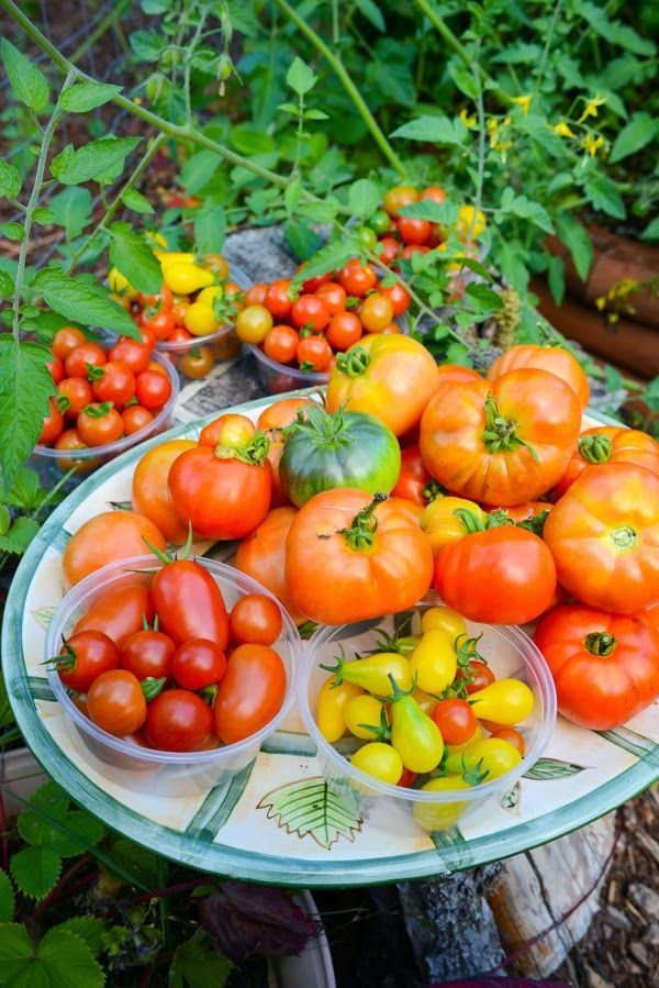 Growing Tomatoes And Peppers 187 Edible Landscaping With Rosalind Creasy