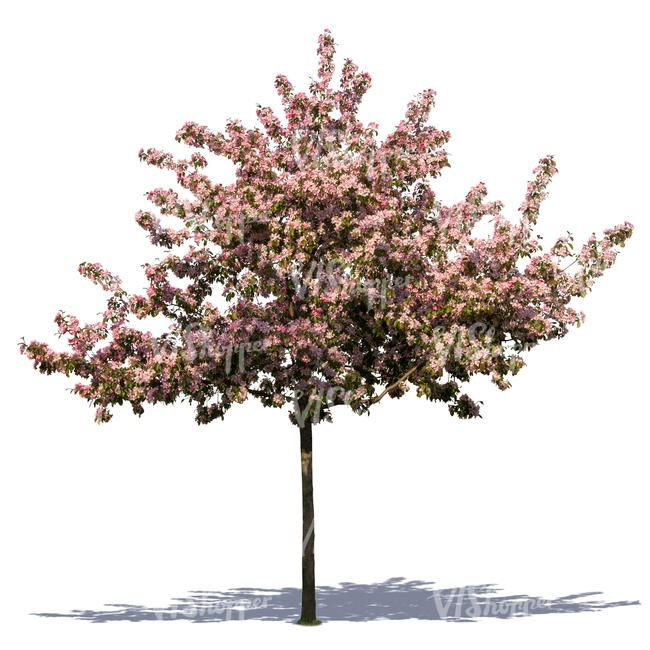How To Start Cherry Trees From Cuttings Hunker Flowering Cherry Tree Growing Cherry Trees Cherry Tree From Seed