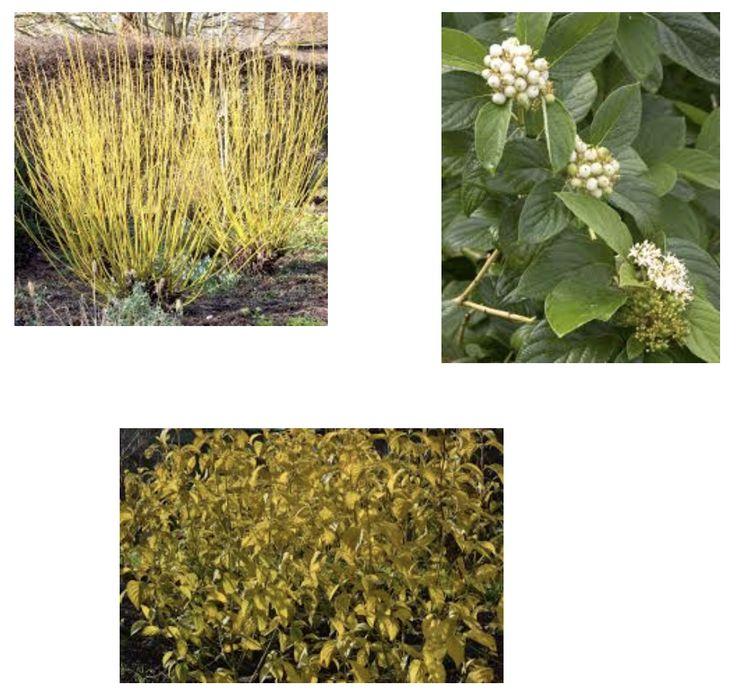 Cornus sericea 'flaviramea': yellow twig dogwood  Height: 7'-9' Spread: 10'+ Zone: 2