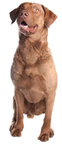 Chesapeake Bay Retriever Information, Facts, Pictures, Training and Grooming