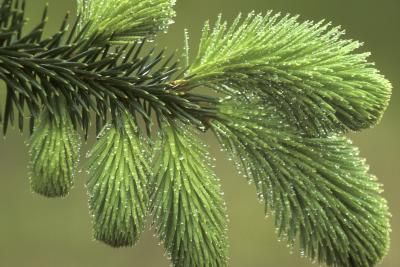 How To Train A Weeping Norway Spruce   eHow