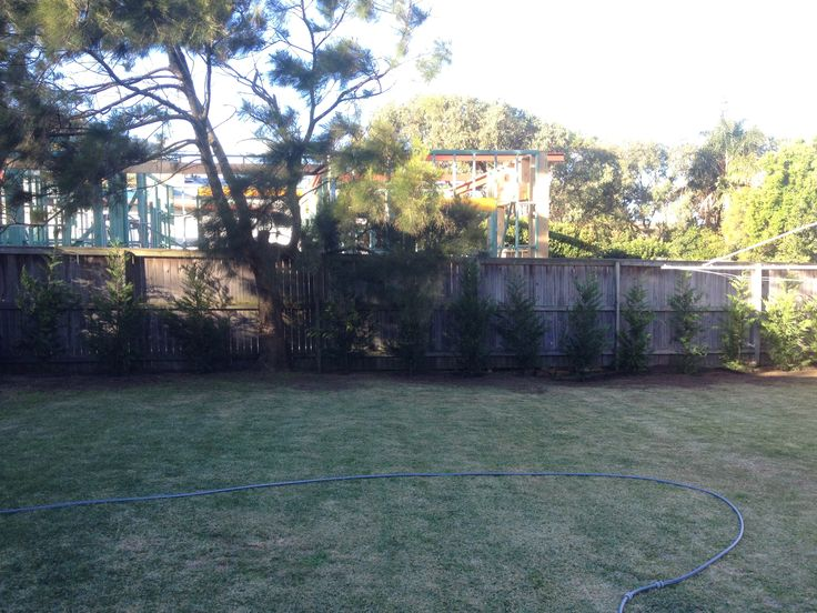 North Curl Curl After - Leighton Green conifer hedge will block out neighbours in 12 months