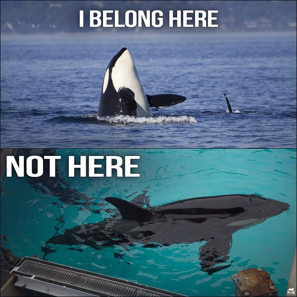 SeaWorld announced yesterday that it will phase out its performing orcas by 2017 at its San Diego location. Description from blog.timesunion.com. I searched for this on bing.com/images