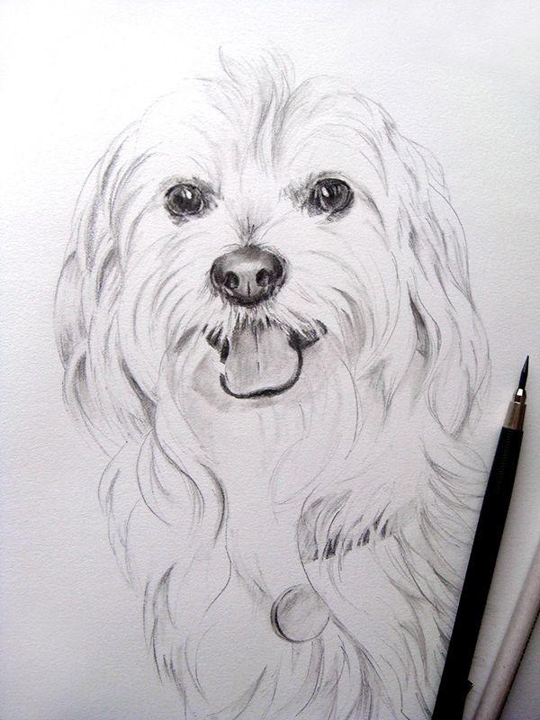 Dog portrait. Bichon - portret in creion
