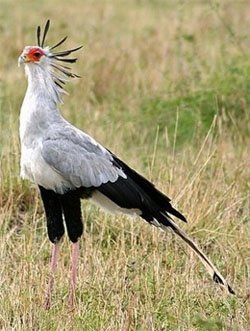 Described as Africa's 'marching eagle', the secretary-bird mostly moves around on foot, covering 20 - 30 kilometers a day with its stride. They use their long legs to hunt by stamping or kicking their prey before swallowing it whole.