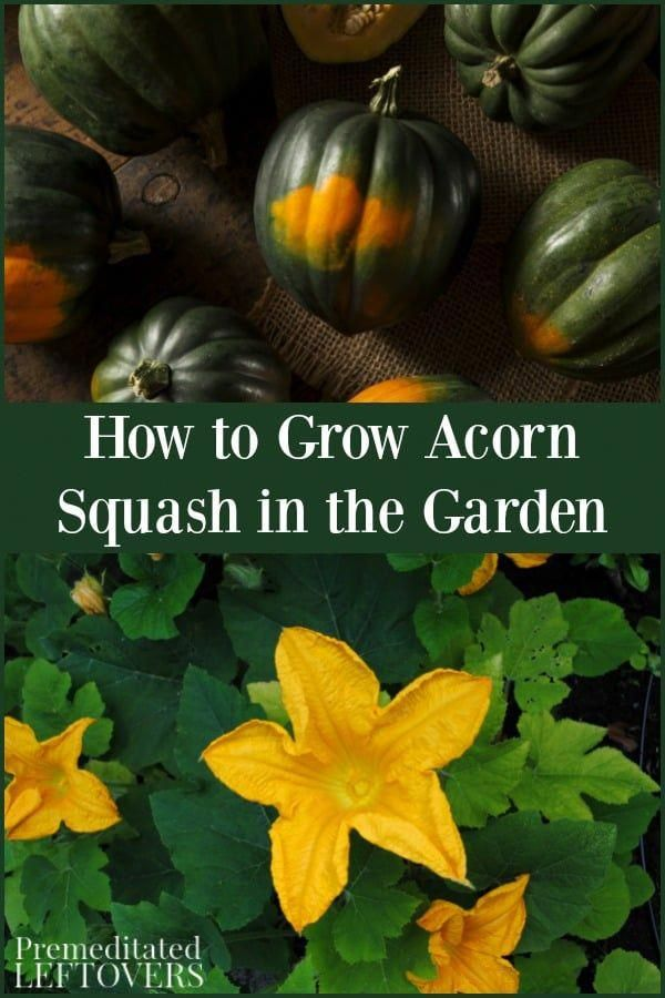 Acorn squash is a flavorful and versatile squash to have in your kitchen garden….
