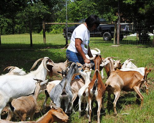 #goatvet is envious of these USDA grants to help pay for goat fencing for rotational grazing.
