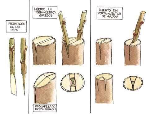 injertos: