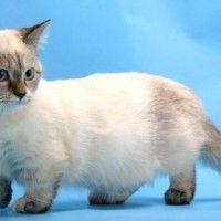 #dogalize Razas Felinas: Gato Munchkin características y carácter #dogs #cats #pets