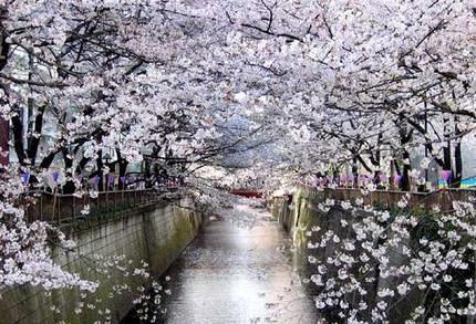 Cherry trees along the banks of the Meguro River - Tokyo