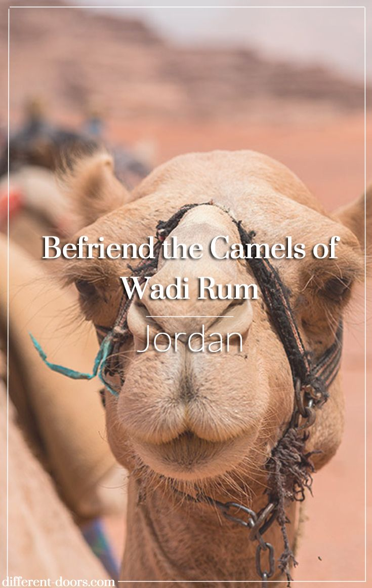 Befriend the Camels of the Desert at Wadi Rum in Jordan Jordan Tourism Board