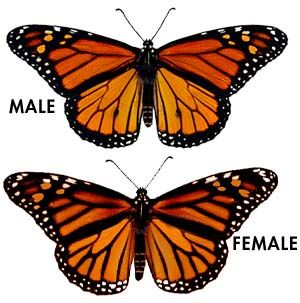 Adult Monarch Male and Female