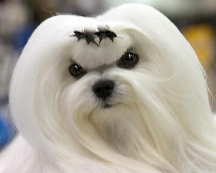 Maltese: Allergenic Pets, Maltese Dogs, Adorable Animals, Hypoallergenic Hairs, Dogs Hypoallergenic, Dog Breeds, Amazing Photos, Friend