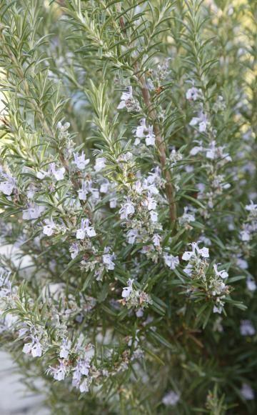 Rosmarin: Vermehrung und Pflegetipps - Rosmarin ist nicht nur ein beliebtes Gewürz, die mediterrane Pflanze enthält viele wertvolle Inhaltsstoffe und kommt als Arzneimittel zum Einsatz.