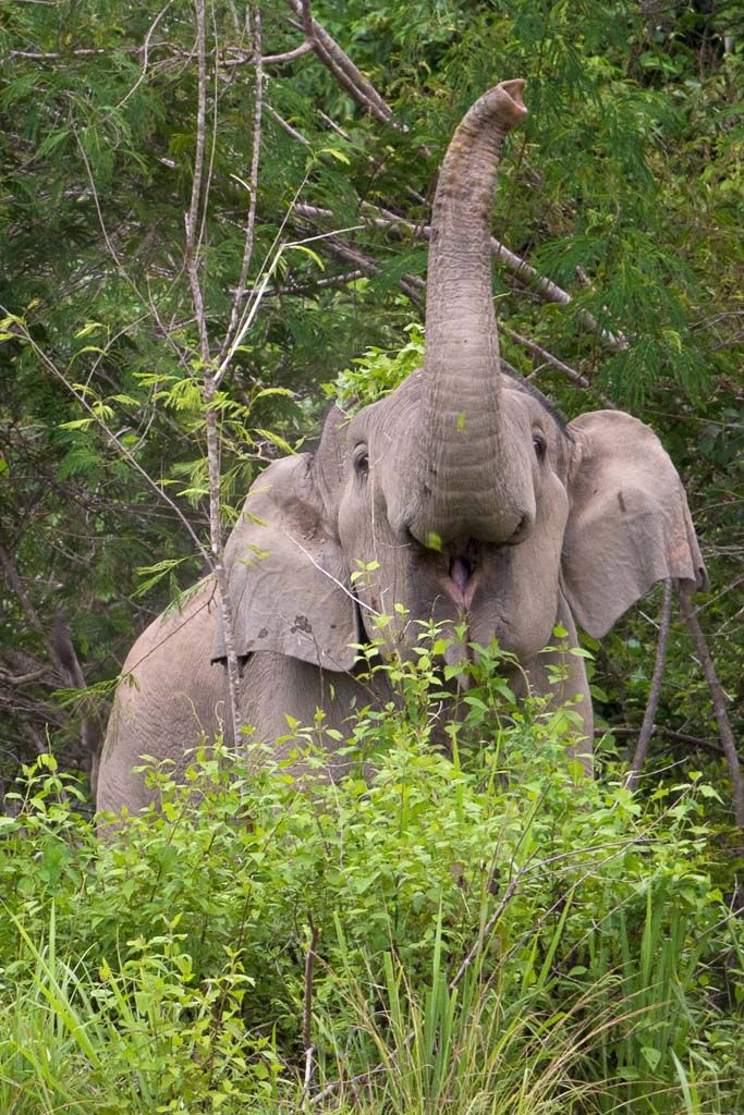 Wild elephant in Kui Buri National Park, Thailand