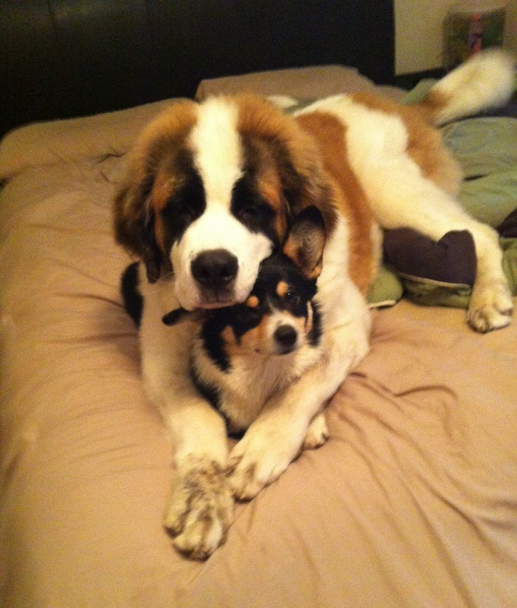 Our 6 month old st. Bernard an 9 month old welsh corgi :)