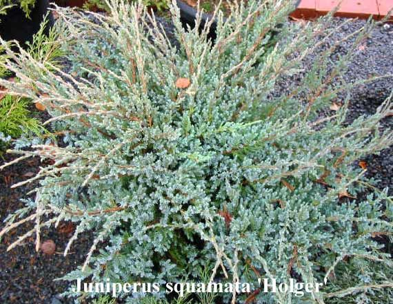 Juniperus squamata 'Holger' Juniperus squamata 'Holger' A low shrub with spiky horizontal branches. The foliage is normally a light blue colour, but summer it is entirely covered with cream coloured new growth. Grows to approx 60cm x 60cm in 10 years.