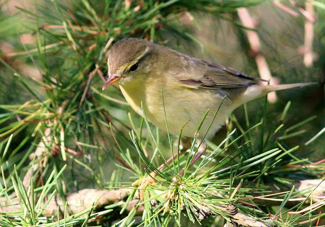 DRBY Z VRBY: Ptáci naší zahrady. Budníček větší
