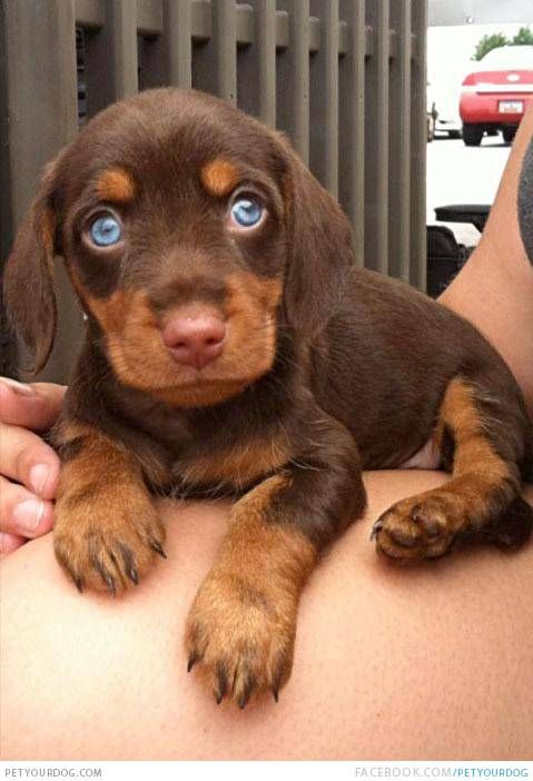 Doxie dogs with blue eyes | Dachshund | Dog Pictures & Videos - Funny, Cute, Wacky or training Dog ...