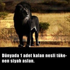 Siyah Aslan
