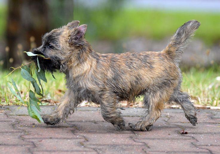 Levi - Wilmavohnne Cairn Terriers