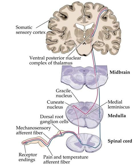 Awesome Neuroanatomy and Neuroembryology notes