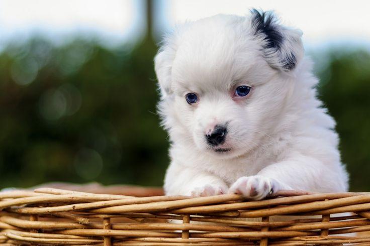 Spitz Mix Samira Wer kommt mit ins Körbchen? ♥ Hundename: Samira / Rasse: Spitz Mix      Mehr Fotos: https://magazin.dogs-2-love.com/foto/spitz-mix-samira/ Bild, Hund, Körbchen, Liebe