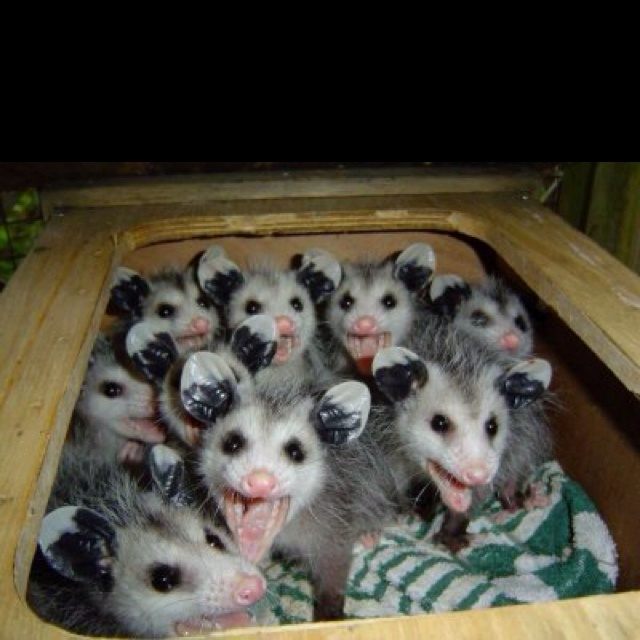 Opposums. Haha. ) my favorite animal haha Adorable