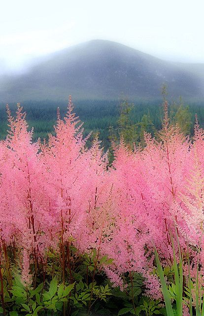 The Mourne Mountains, Northern Ireland  Astilbe - I love the cloudy blooms, and the vibrant colour