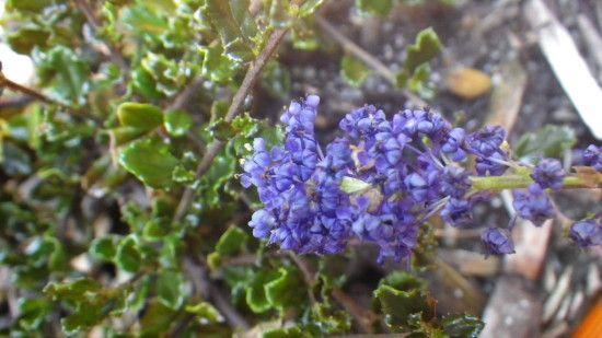 Ceanothus Blue Sapphire - Landsdale Plants