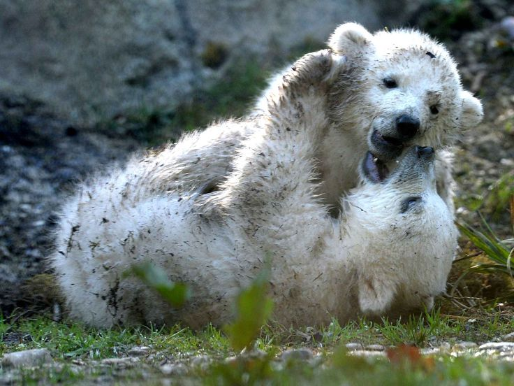 The 16-weeks-old polar bear twins Nobby and Nola play in their enclosure in the zoo in Munich Hellabrunn, southern Germany, on April 7 , 2014. The two little polar bear cups were born in the zoo of Munich on December 9, 2013 and were baptized Nobby and Nela on April 7, 2014. AFP PHOTO/CHRISTOF STACHE