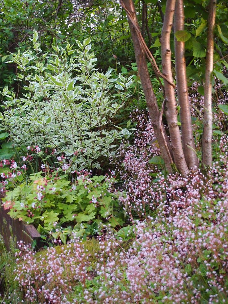 "June_2013_Cornus alba ""Ivory Halo"", Hazel, Geranium macrorrhizum 'Spessart', Saxifraga umbrosa"